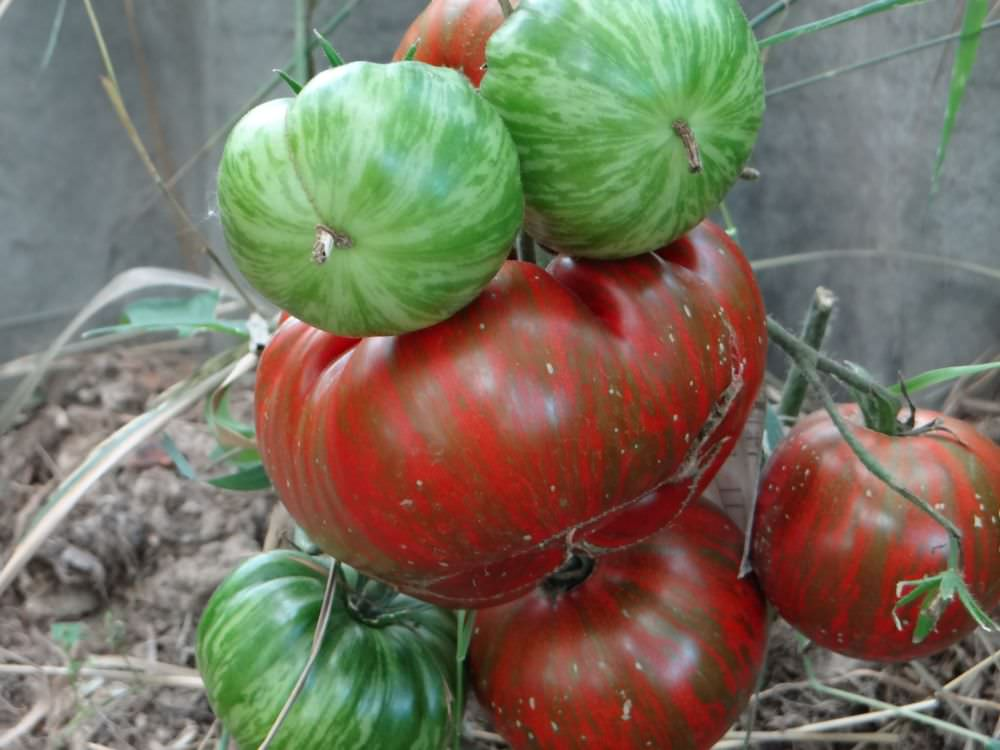 Отзывы и описание помидоров сорта шоколадный зайчик