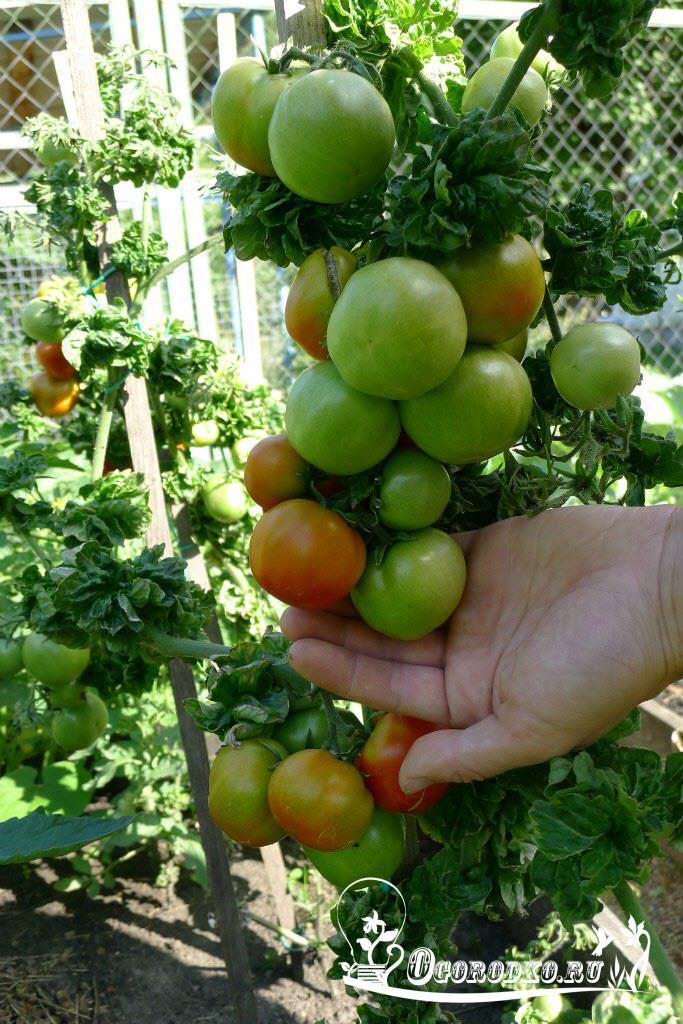 томат столыпин отзывы фото кто сажал