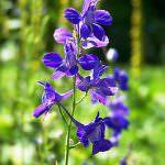 Живокость полевая (дельфиниум, сокирики, шпорник): описание травы, применение лекарственного растения, лечебные свойства