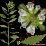 Зюзник европейский (сердечная трава): описание, лечебные свойства, состав, применение и противопоказания, отзывы, фото