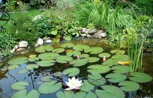 Водные растения для пресного пруда и водоема на даче