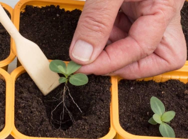 Когда сажать эустому на рассаду: от посева до высадки в грунт