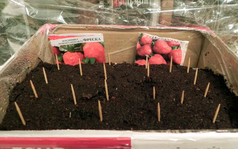 Как всходят семена земляники