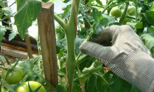 Пасынкование куста томата