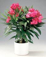 На свежем воздухе кустарник достигает высоты от 3 до 5 метров, интенсивно развивается и цветёт пышными цветками