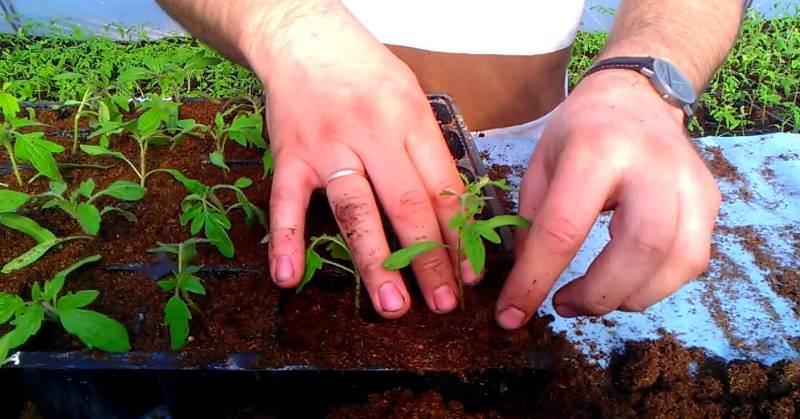 Когда семена на рассаду помидоры 607