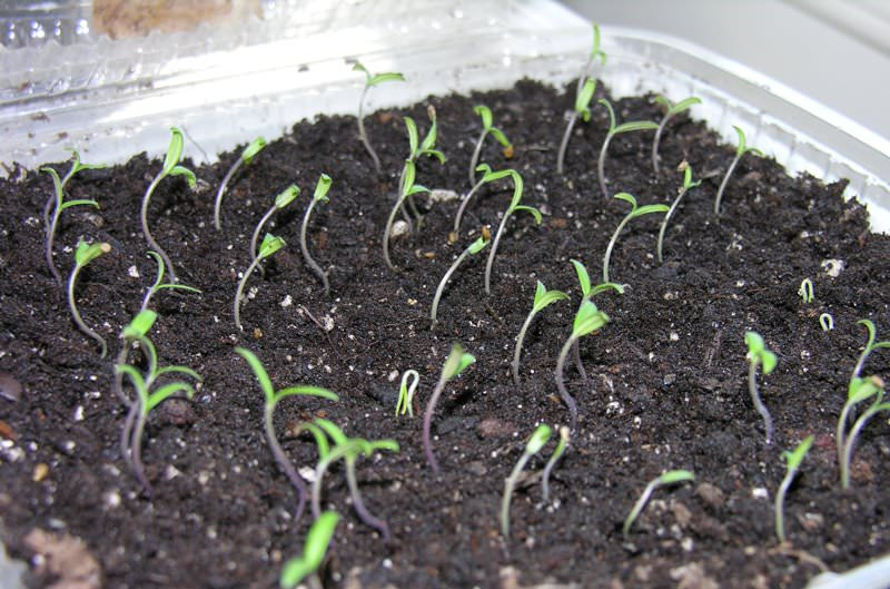 Как посадить в домашних условиях рассаду помидоры