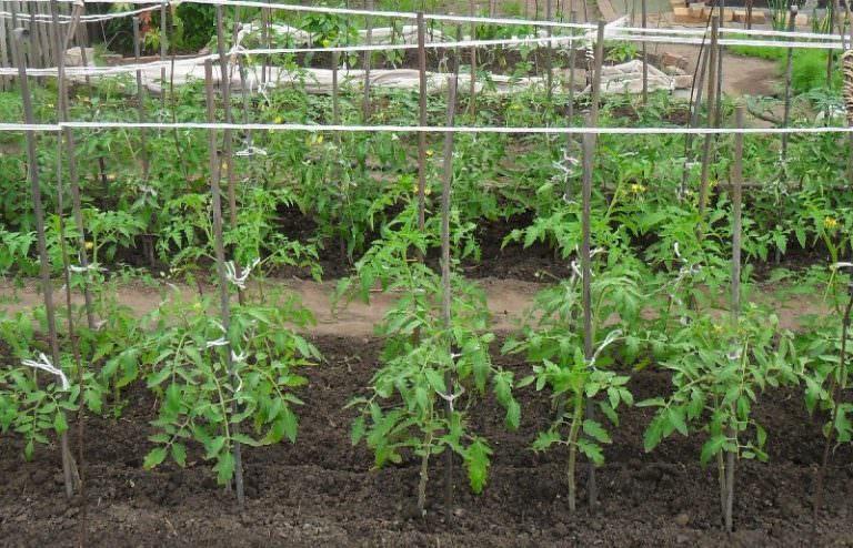 Выращивание помидор на открытом грунте