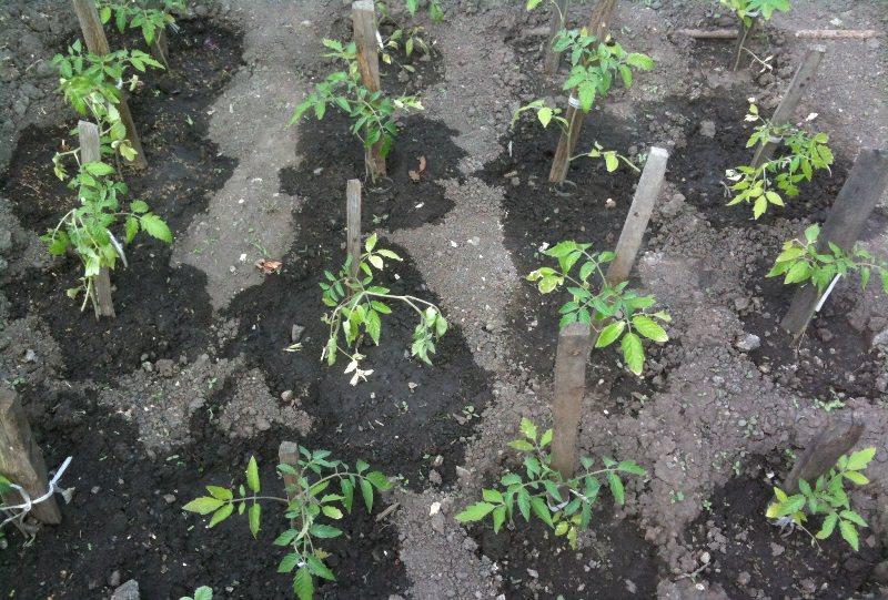 Как и когда сажать помидоры в огороде