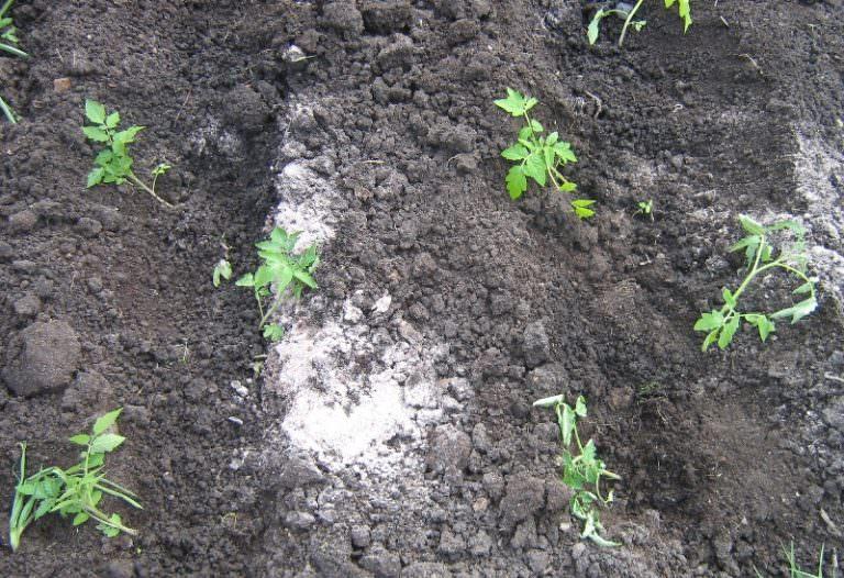 Когда сажать помидоры в открытый грунт семенами 2