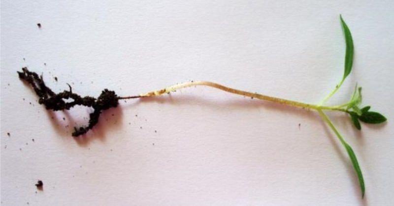 Чёрная ножка у рассады перцев 61
