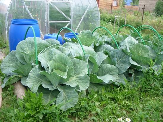 Фото выращивание капусты 49
