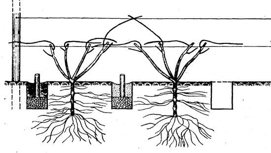 Как сажать и уход за виноградом 113