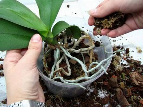 Посадка орхидеи в домашних условиях пошагово с