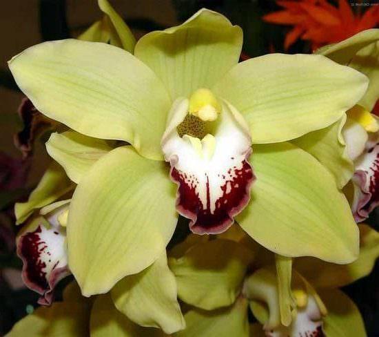 Орхидея цимбидиум уход в домашних условиях с фото