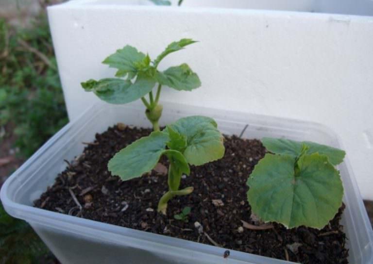 Как садить арбузы и дыни на рассаду 76