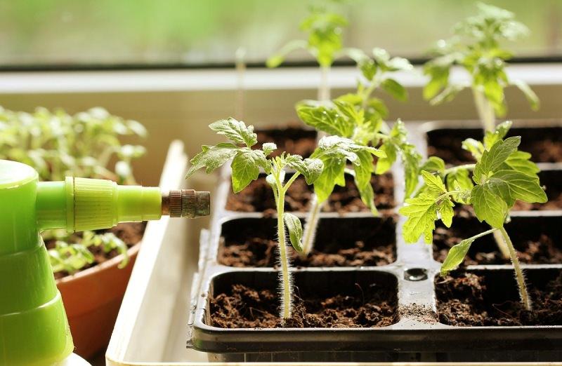 Чем поливать рассаду помидоров 481