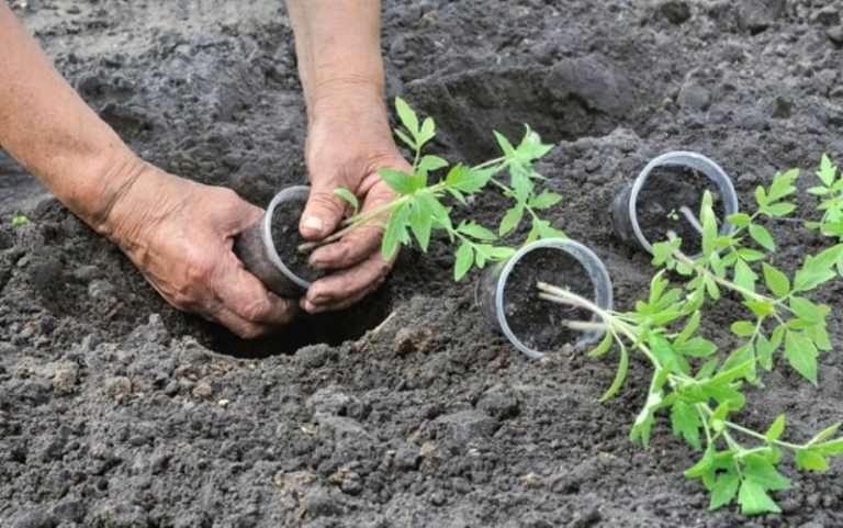Когда сажать помидоры в открытый грунт семенами 91