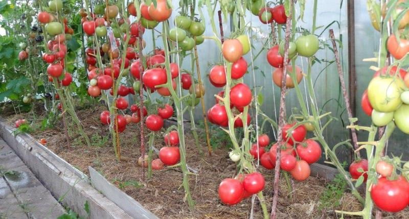 Какие сорта томатов сажать в теплице из поликарбоната 200