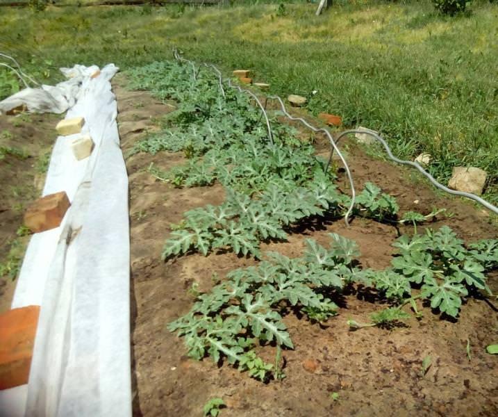 Арбуз выращивание открытым грунт 287