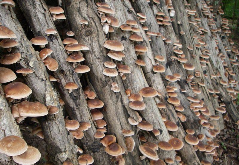 Выращивание грибов шиитаке на бревнах