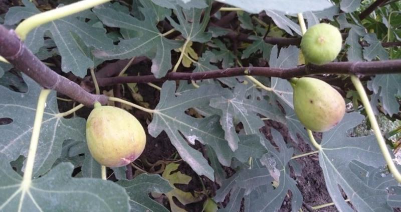 Выращивание инжира в открытом грунте в украине 94
