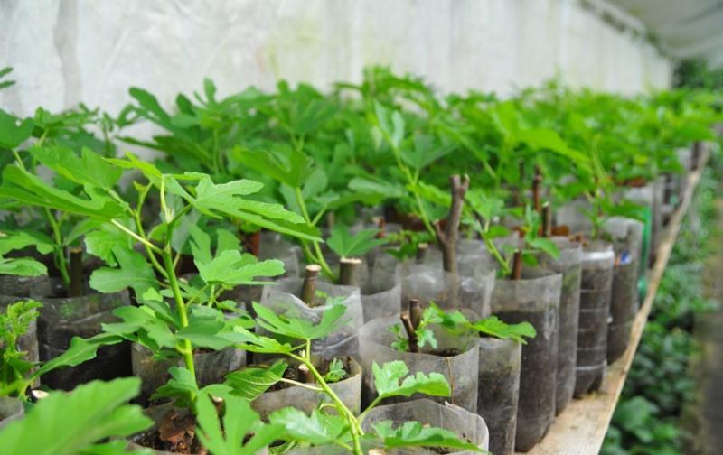 Инжир выращивание семенами в домашних условиях