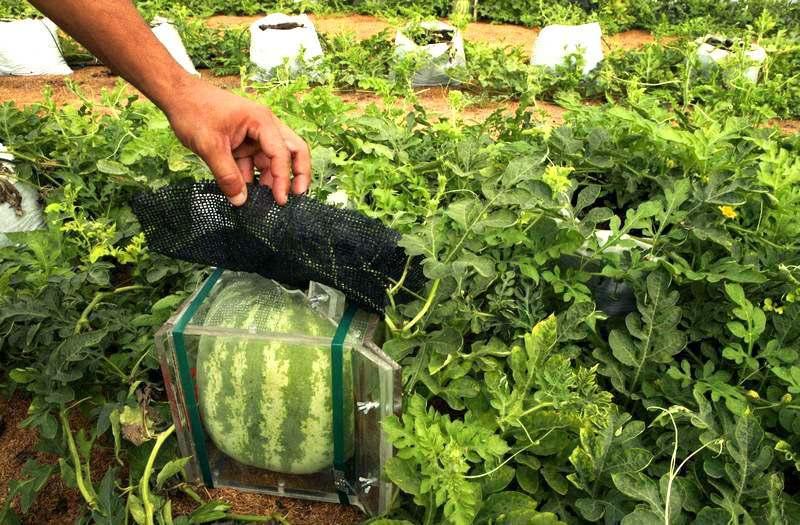 Технология выращивания арбуза в открытом грунте 15