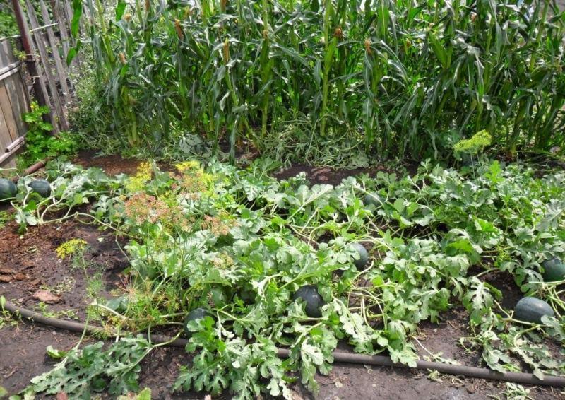 Арбуз выращивание в подмосковье 7