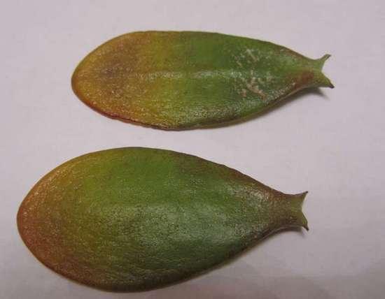 почему с толстянки опадают листья