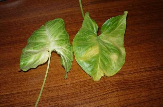 растения хищники в домашних условиях фото