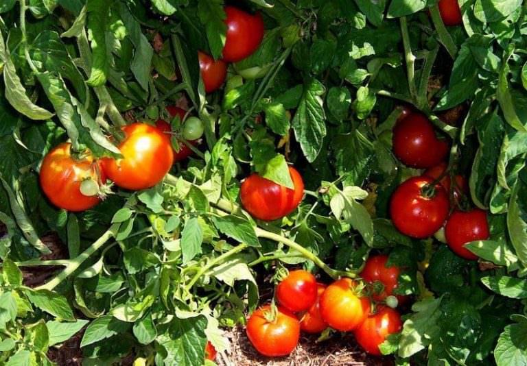 Как сажать томат хоровод 34