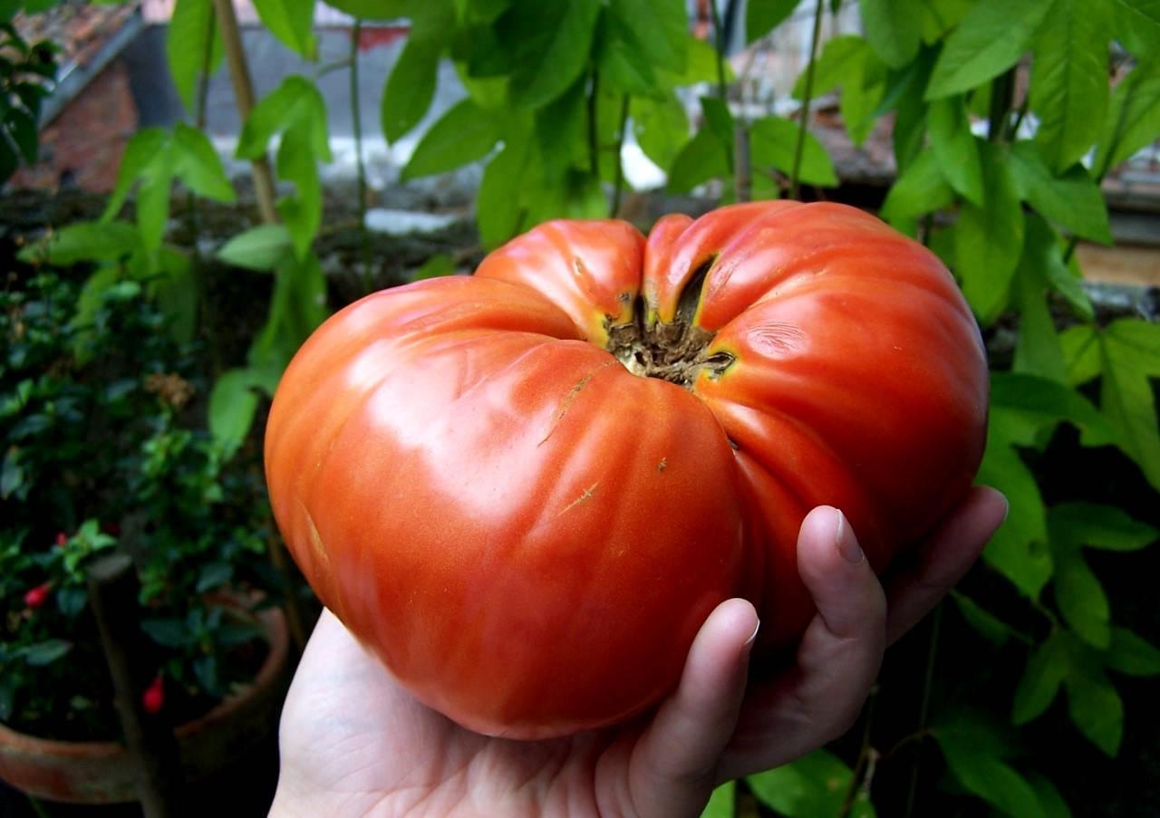 Томаты низкорослые Osadovod - Все о садe, огороде 13