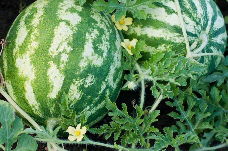 Выращивание арбуза и дыни в подмосковье 84