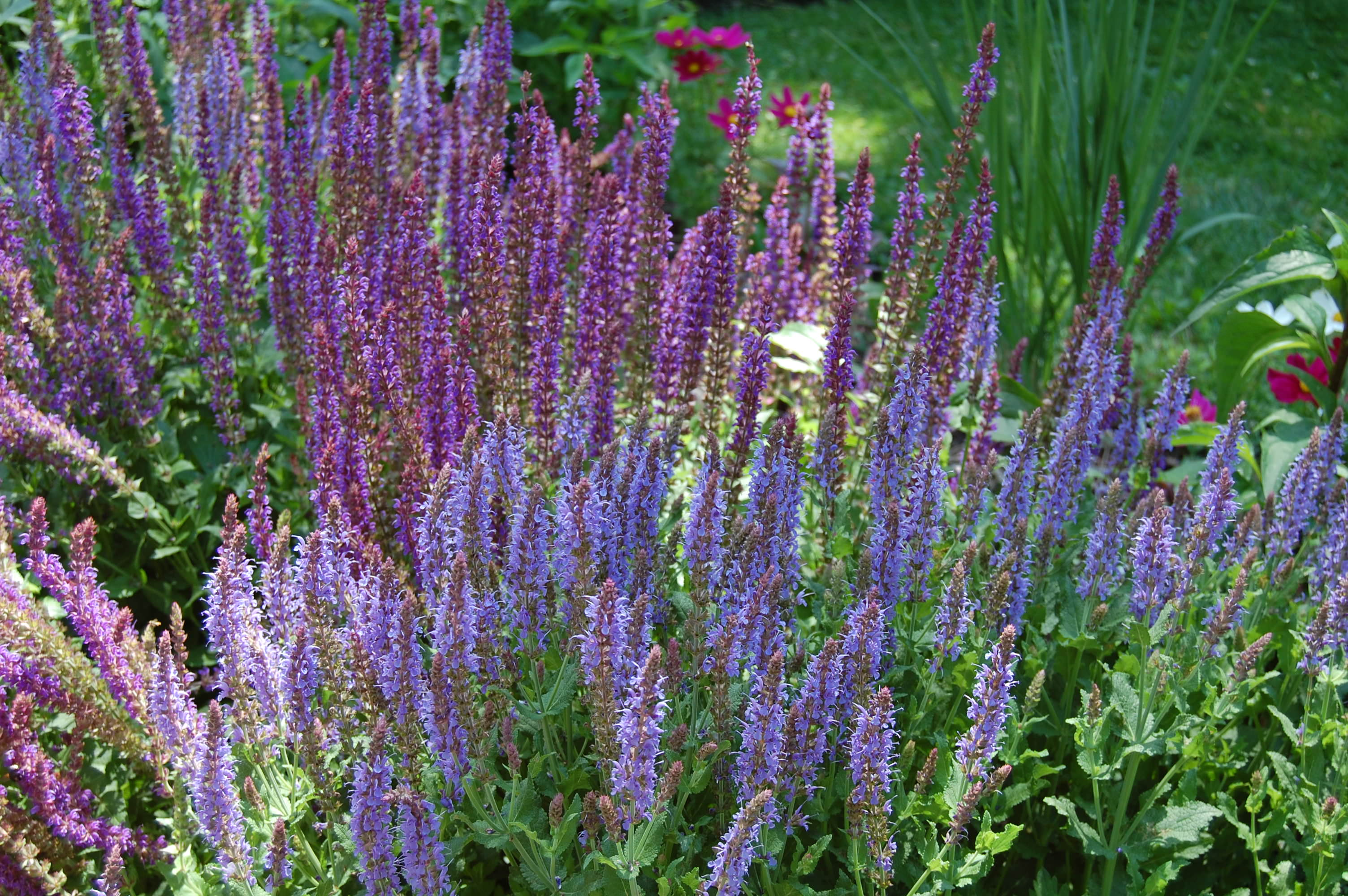 Многолетние цветы в сибири фото