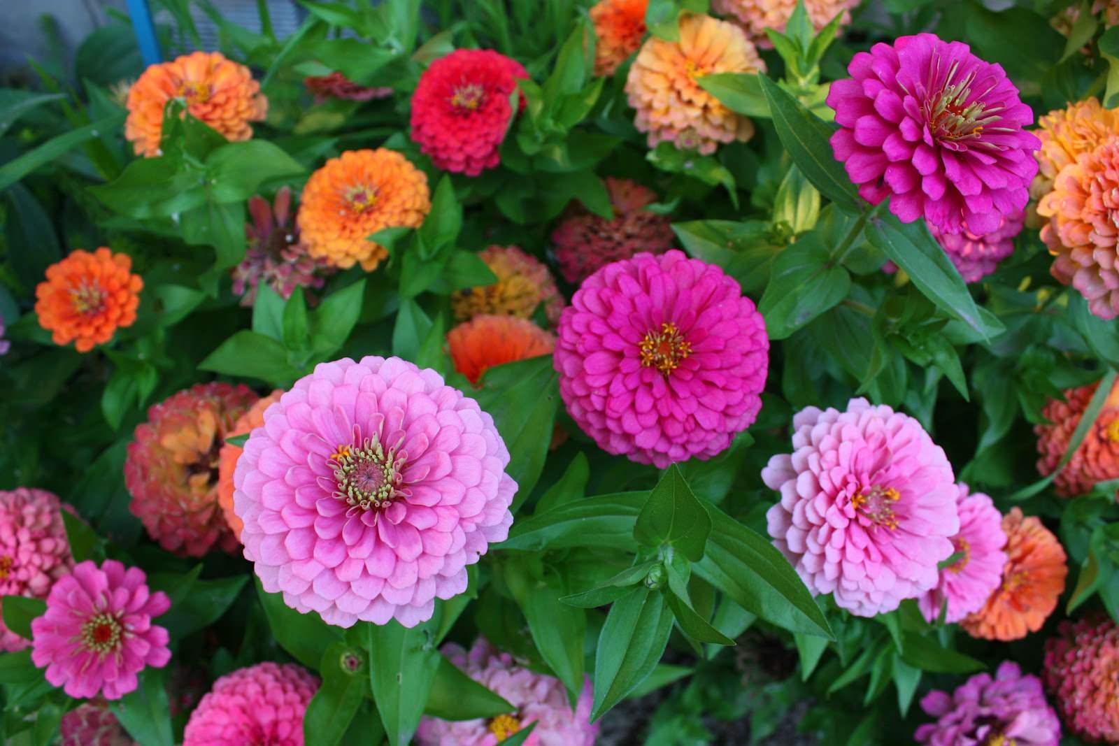 Многолетние садовые цветы цветущие все лето для сибири