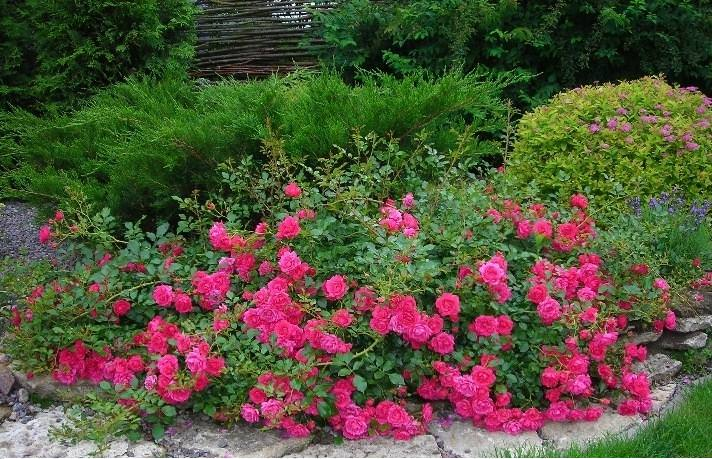 Как сажают почвопокровные розы