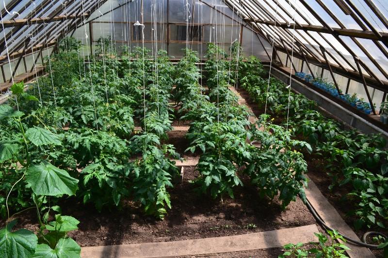 Можно ли рядом сажать помидоры и перцы 10