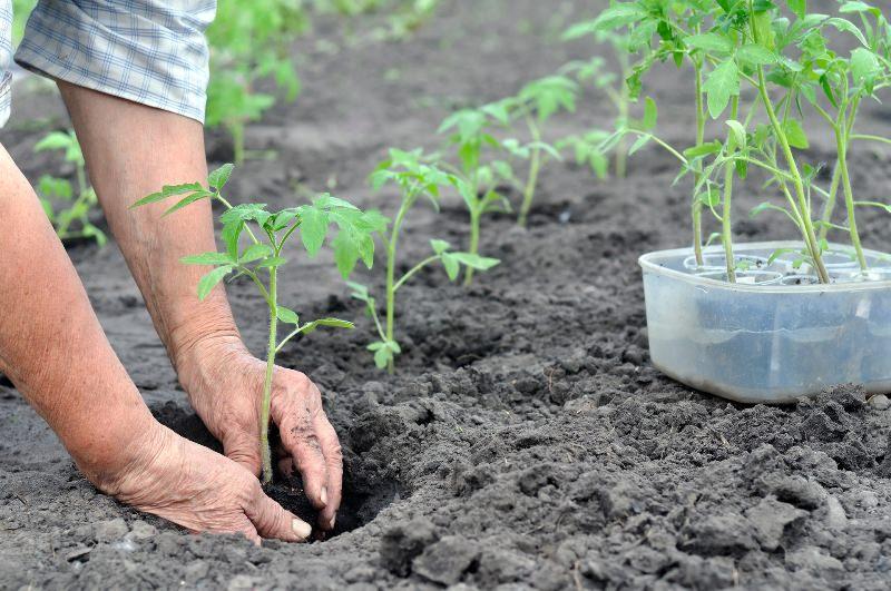 Выращивание помидор из своих семян 985