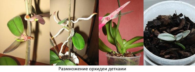 Пересадка детки орхидей в домашних условиях
