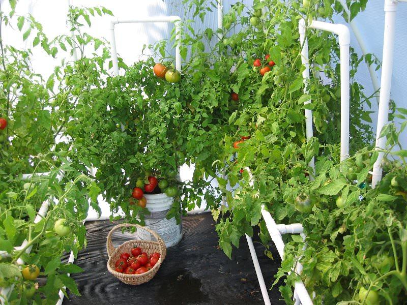 Когда можно сажать помидоры дома 3