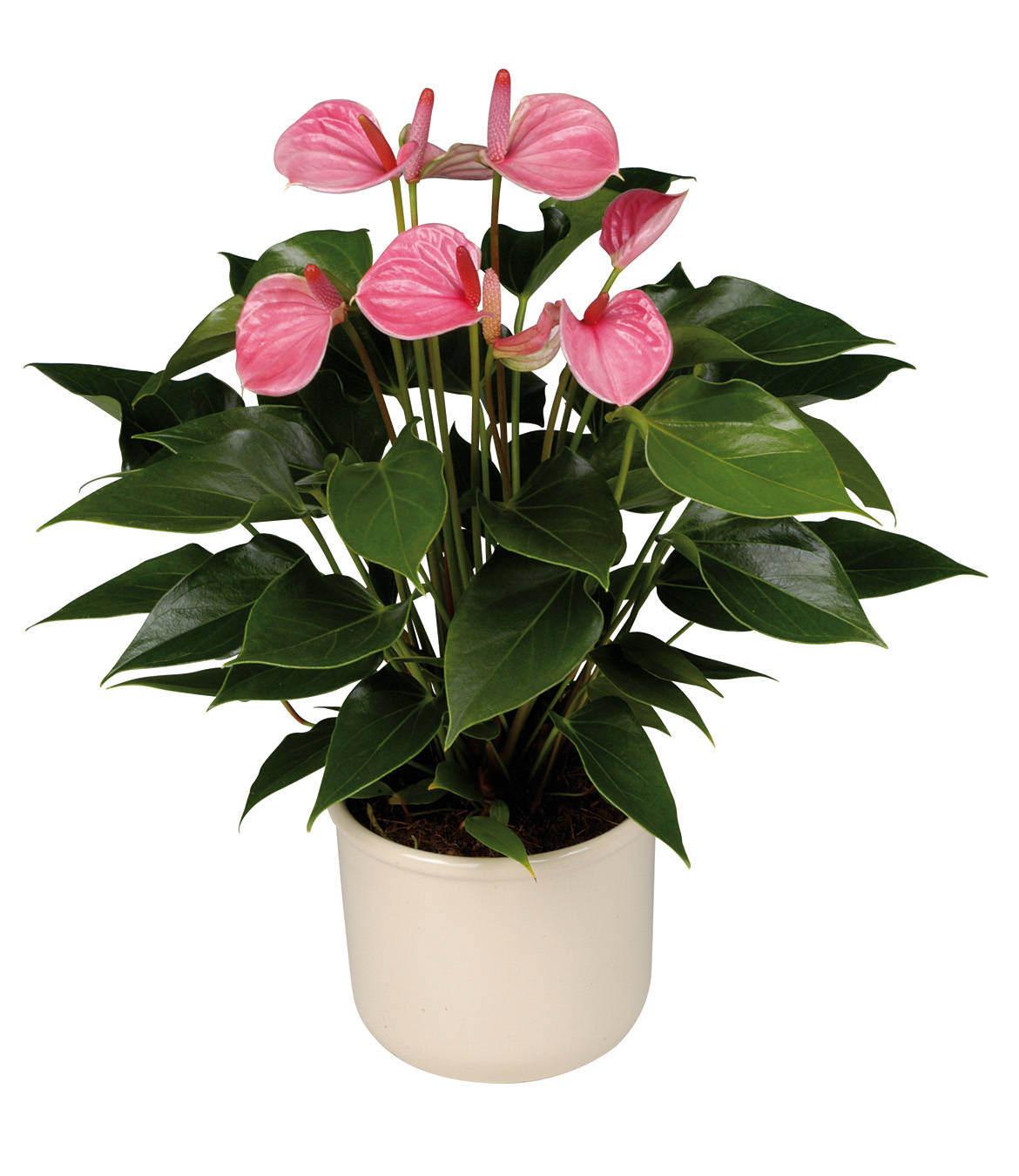 Мужской счастье цветок фото