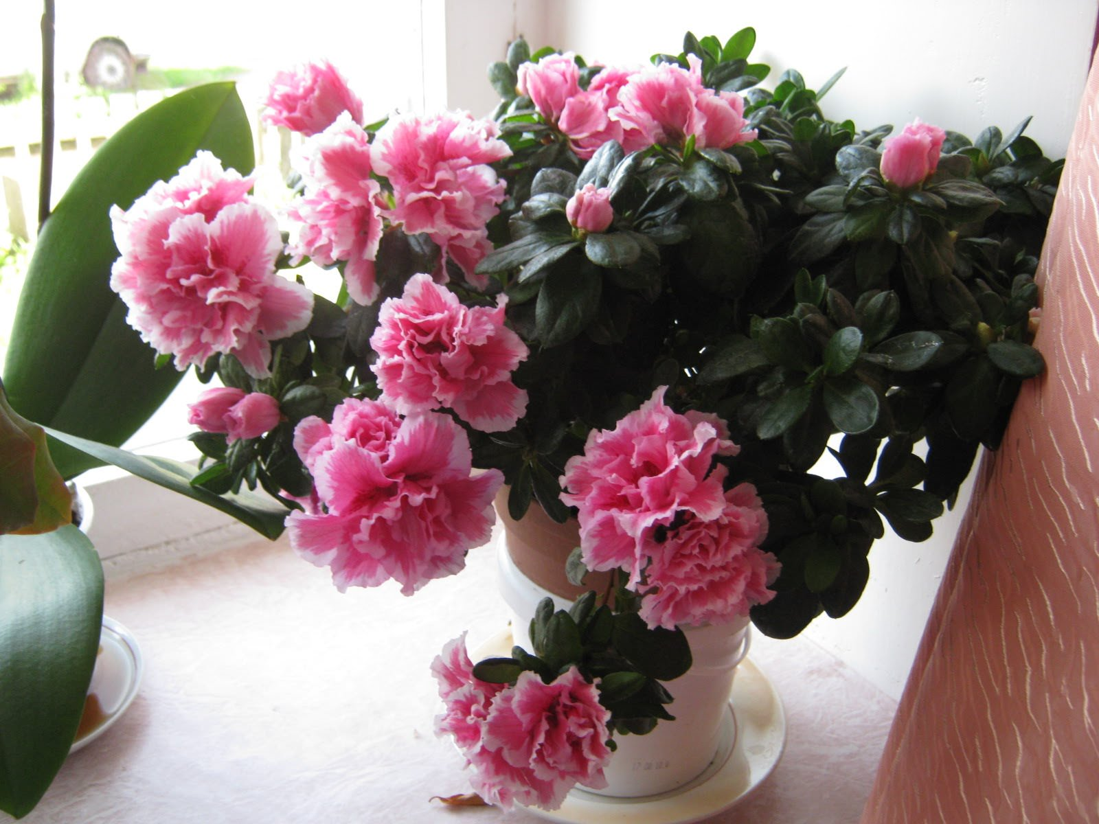 Фото цветы розалия как ухаживать
