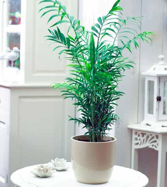 Бамбуковая пальма уход в домашних условиях фото 177