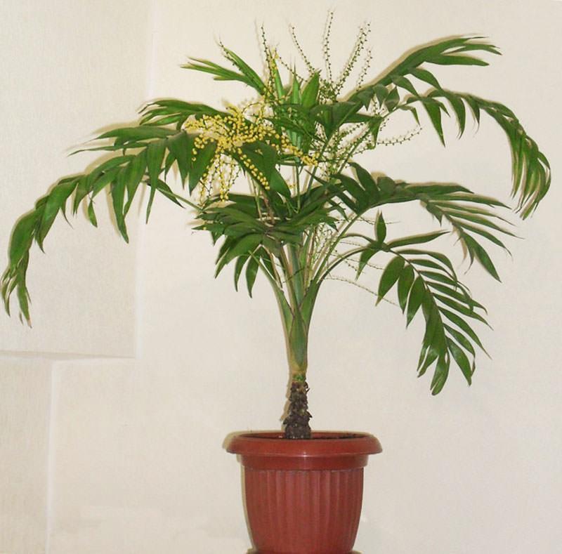 Бамбуковая пальма уход в домашних условиях фото