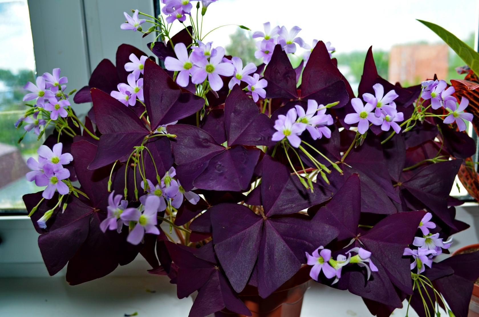 Цветок бабочка : уход, полив, фото, размножение и пересадка