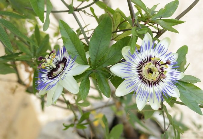 Не цветет пассифлора в домашних условиях 627