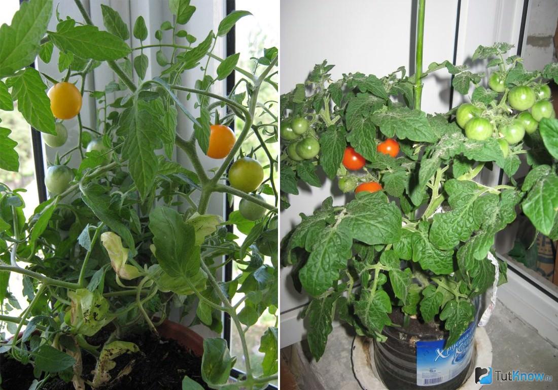 Как сажать помидоры на окне 83