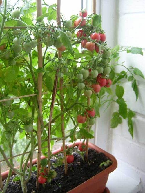 Помидоры балконное чудо выращивание дома зимой 52