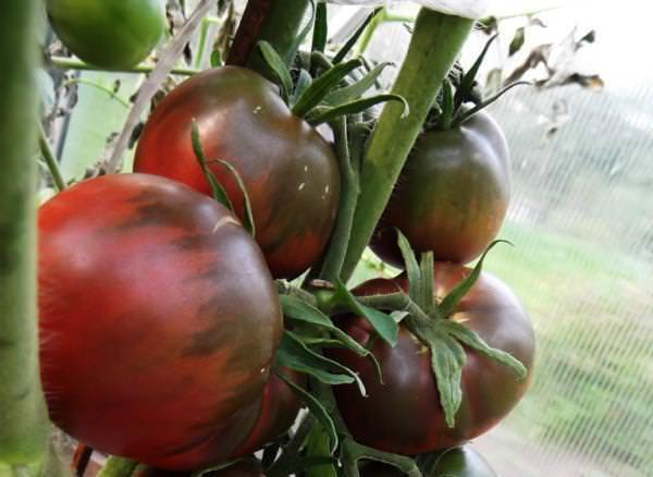 Выращивание помидор черный принц 27